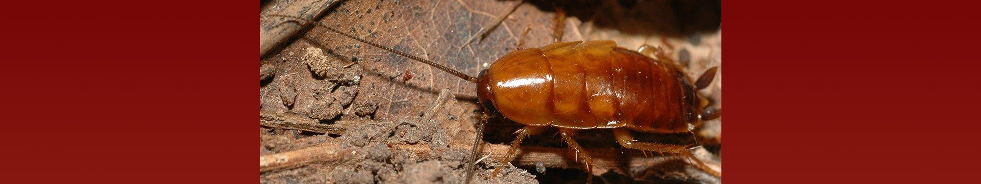Kakerlakker - vi fjerner dem effektivt