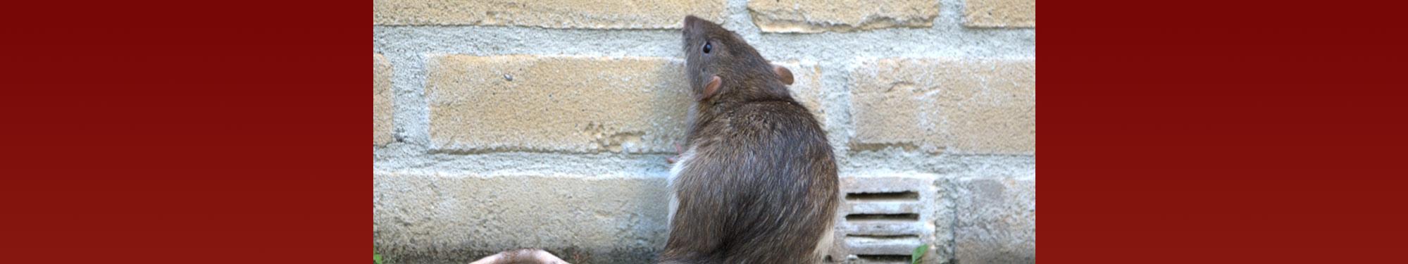 Rottebekæmpelse - døgnåbent - ring nu