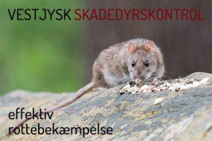 Rottebekæmpelse Holstebro Ringkøbing Skjern og Videbæk