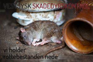 Bekæmpelse af rotter Holstebro, Ringkøbing, Skjern