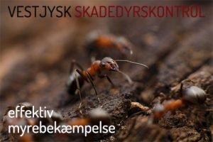 Myrebekæmpelse Ringkøbing, Holstebro, Skjern, Videbæk, Hvide sande,