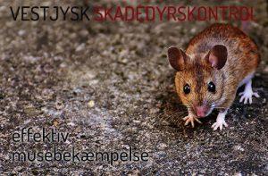 Bekæmpelse af mus Holstebro-Ringkøbing-Skjern-Videbæk