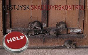 Hjælp til bekæmpelse af rotter - Holstebro - Ringkøbing Skjern Videbæk Hvide sande