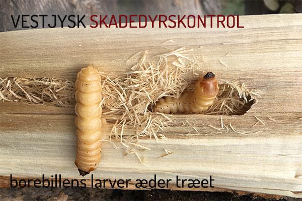 borebiller bekæmpelse - borebille larver - træædende skadedyr